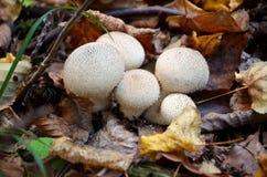 Cogumelos brancos na floresta Fotos de Stock