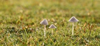 3 cogumelos brancos pequenos Foto de Stock Royalty Free