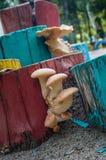 Cogumelos brancos que crescem em um coto de árvore Imagens de Stock Royalty Free