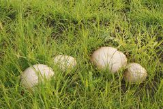 Cogumelos com o chapéu bege na grama verde em selvagem Imagens de Stock Royalty Free