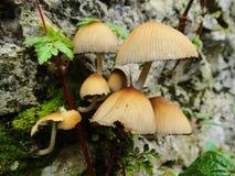 Cogumelos com uma forma do guarda-chuva Fotografia de Stock
