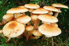 Cogumelos comestíveis Foto de Stock Royalty Free