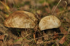 Cogumelos comestíveis Crescimento do boleto imagem de stock royalty free
