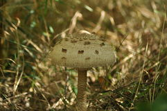 Cogumelos comestíveis delicacy A adição aos pratos imagem de stock royalty free