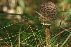 Cogumelos comestíveis delicacy A adição aos pratos Cogumelo do outono imagens de stock