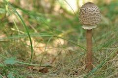 Cogumelos comestíveis delicacy A adição aos pratos Colheita do cogumelo do outono imagem de stock
