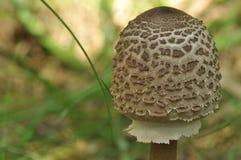 Cogumelos comestíveis delicacy A adição aos pratos Colheita do cogumelo do outono fotografia de stock