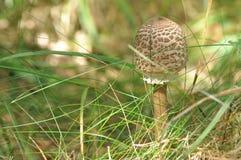 Cogumelos comestíveis delicacy A adição aos pratos outono fotografia de stock