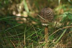 Cogumelos comestíveis delicacy A adição aos pratos outono fotos de stock