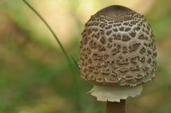 Cogumelos comestíveis delicacy A adição aos pratos outono foto de stock