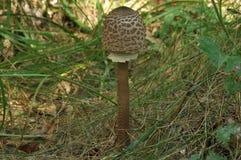 Cogumelos comestíveis delicacy A adição aos pratos outono imagem de stock