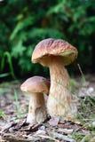 Cogumelos comestíveis do outono Imagens de Stock