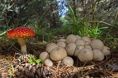 Cogumelos comestíveis e venenosos junto em um pinheiral Foto de Stock Royalty Free
