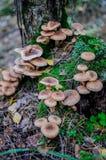 Cogumelos comestíveis selvagens do Armillaria do agaric/do mel que crescem na floresta Fotos de Stock