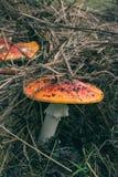 Cogumelos contaminados que escondem da máquina desbastadora cruel do cogumelo e de sua faca afiada Fotografia de Stock Royalty Free
