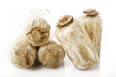 Cogumelos cultivados Imagens de Stock