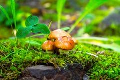 Cogumelos da floresta na grama verde Imagens de Stock