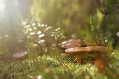 Cogumelos da floresta no musgo fotografia de stock royalty free