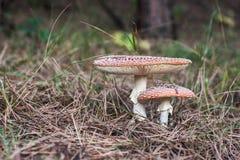 2 cogumelos da mosca Imagem de Stock Royalty Free