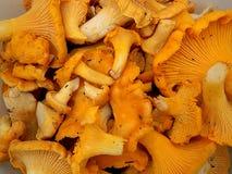 Cogumelos das primas Imagens de Stock