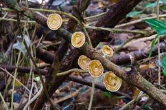 Cogumelos de Brown na floresta Foto de Stock