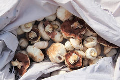 Cogumelos de campo frescos Fotografia de Stock