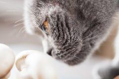 Cogumelos de cheiro do gato britânico manhoso Fotografia de Stock