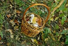 Cogumelos de Cortinas Foto de Stock