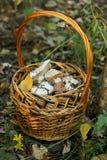 Cogumelos de Cortinas Foto de Stock Royalty Free