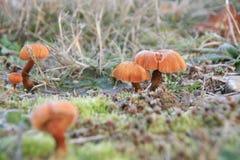 Cogumelos de inverno em Frost Imagens de Stock