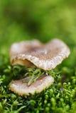 Cogumelos de madeira Fotos de Stock