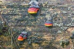 Cogumelos de madeira em um tronco velho Fotografia de Stock Royalty Free