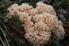 Cogumelos de Maitake Fotografia de Stock