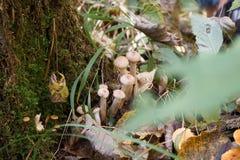 Cogumelos de mel na floresta do outono Fotografia de Stock Royalty Free