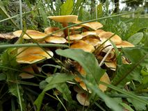 Cogumelos de mel na grama Imagem de Stock Royalty Free