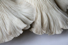 Cogumelos de ostra 2 Fotografia de Stock Royalty Free