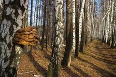 Cogumelos de ostra Fotografia de Stock