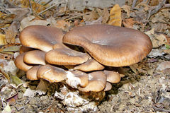 Cogumelos de ostra Foto de Stock Royalty Free