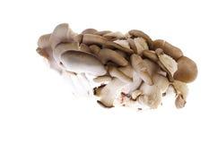 Cogumelos de ostra comestíveis no fundo branco imagens de stock