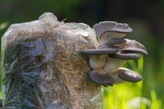 Cogumelos de ostra cultivados Imagem de Stock Royalty Free