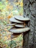 Cogumelos de ostra que crescem em um tronco de árvore fotos de stock
