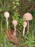 Cogumelos de parasol Imagens de Stock Royalty Free
