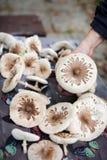 Cogumelos de parasol que estão sendo escolhidos, colheita do cogumelo no outono Foto de Stock