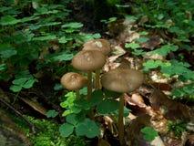 Cogumelos de Radicata Imagens de Stock Royalty Free