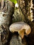 Cogumelos de Shiitake Imagens de Stock Royalty Free