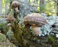 Cogumelos de Shiitake após a chuva imagens de stock