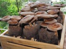 Cogumelos de shiitake crus Imagens de Stock Royalty Free