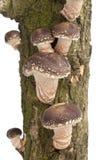 Cogumelos de Shiitake que crescem em uma árvore imagem de stock