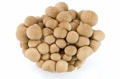 Cogumelos de Shimeji do Buna Fotos de Stock