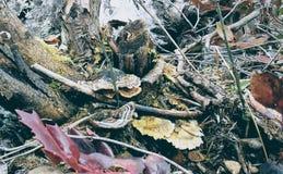 Cogumelos de Turkeytail Fotos de Stock